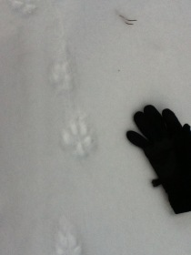 Canine track